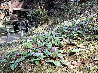村上・普済寺 春到来花も喜ぶ 山野草咲き誇る