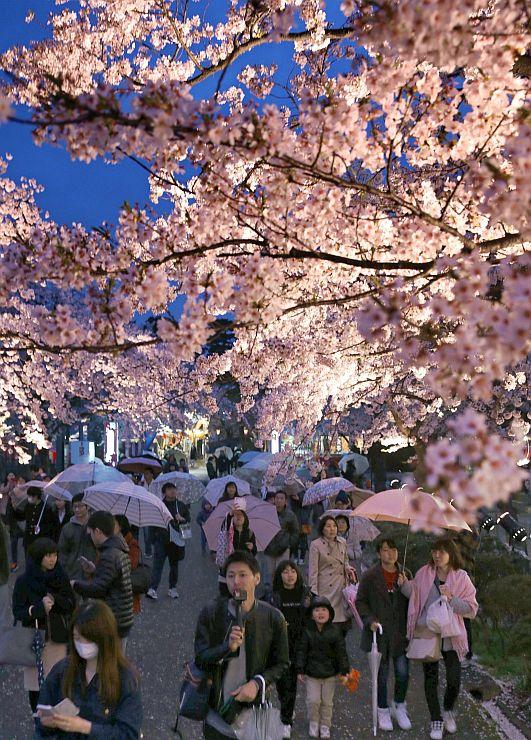 見物客でにぎわう中、ライトアップされた高田公園の桜並木=6日、上越市