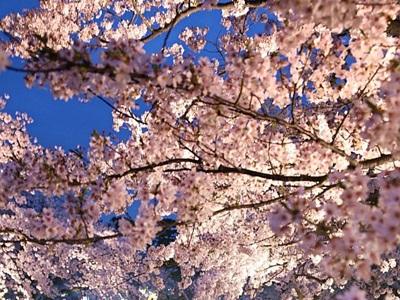 満開でお出迎え 高田観桜会開幕 上越市