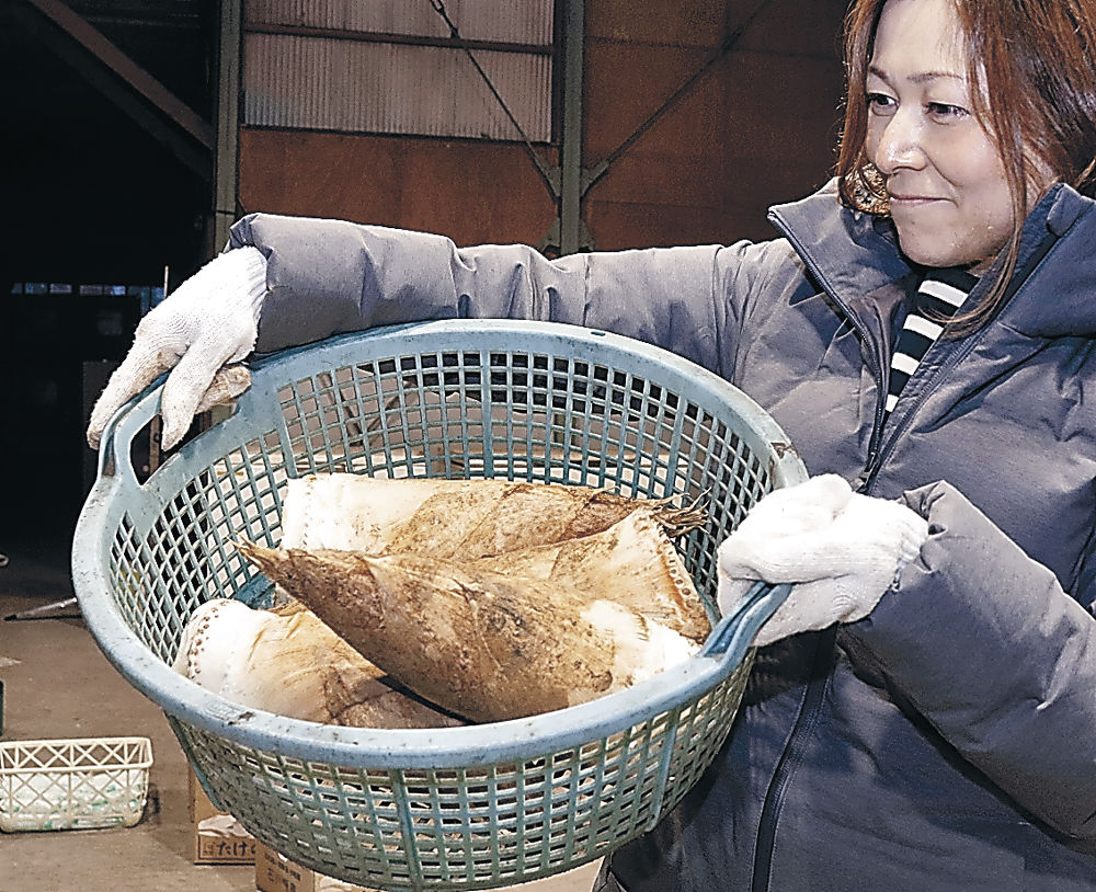 出荷が始まった小松産タケノコ=小松市のJA小松市東山たけのこ集出荷場