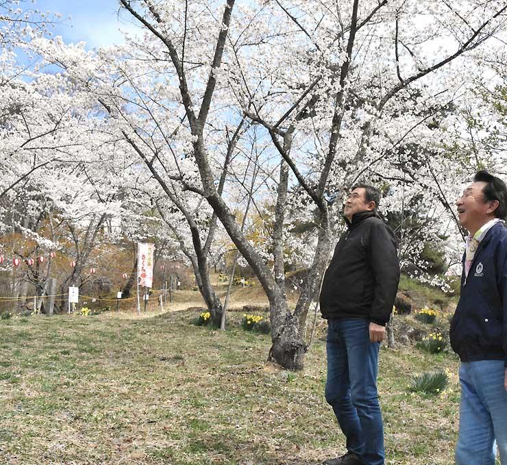 矢沢公園で満開となったソメイヨシノを見上げる古平さん(右)と東山さん