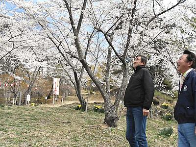 矢沢城跡、さくら祭りへ満開 上田の夜桜と夜景も楽しんで