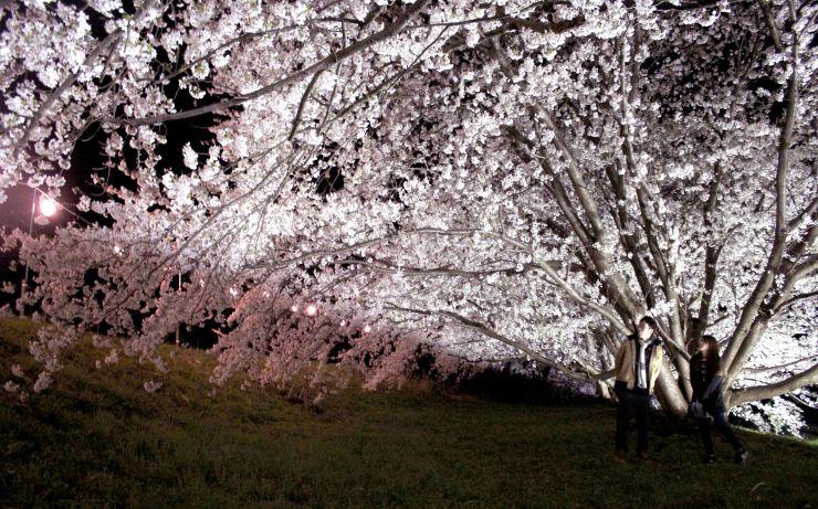 ライトアップされた能代川沿いの桜=9日、新潟市秋葉区柄目木