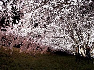 夜桜に包まれ 能代川沿いライトアップ 新潟市秋葉区