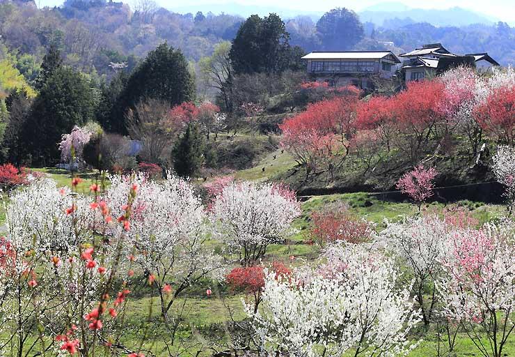白、赤、桃色の花を咲かせるハナモモ。芽吹き始めた木々と共演しているようだ