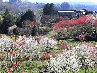 咲き誇るハナモモ 喬木の農園、白・赤・桃色