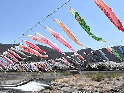 満開の春、泳ぐこいのぼり 上田で100匹、桜と共演