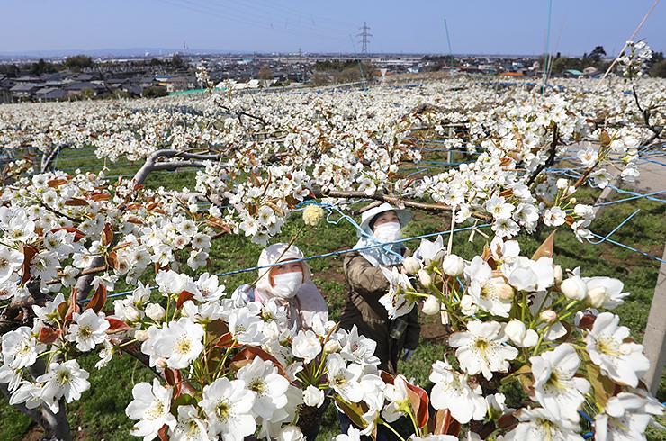 呉羽丘陵を白く染めるナシの花。農家の人たちが授粉作業に追われていた=富山市吉作