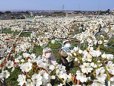 ナシの花満開 白一色 富山の畑で授粉作業