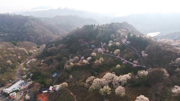 見頃を迎えたヤマザクラなどで色づく池田町陸郷の山の斜面=12日午前7時15分(小型無人機で撮影)