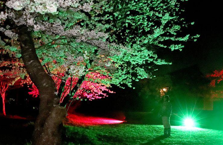 色が変化するライトで幻想的に照らし出された熊野神社の桜=11日、佐渡市畑野