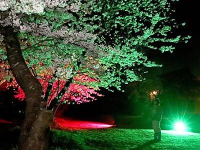 佐渡市畑野・熊野神社 夜桜七変化 カラー照明人気じわり