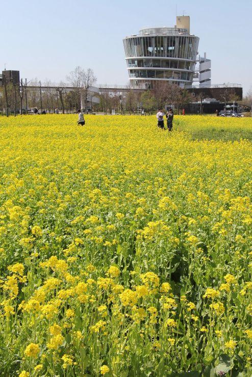 見頃を迎えて一面に咲き誇る菜の花=12日、新潟市北区の福島潟
