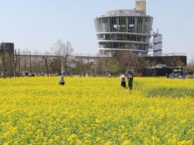 福島潟・菜の花見頃 見渡す限り 新潟市北区