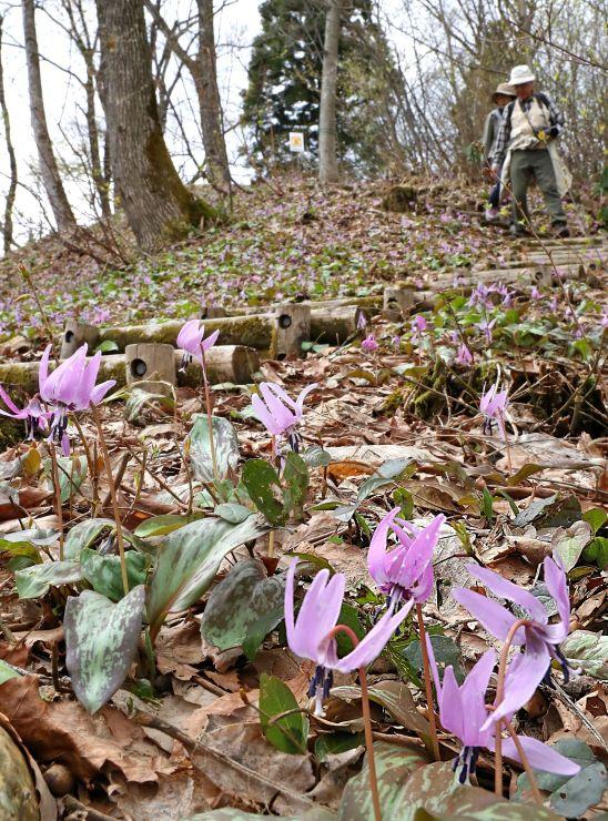 斜面いっぱいに咲いたカタクリ=12日、長岡市の国営越後丘陵公園