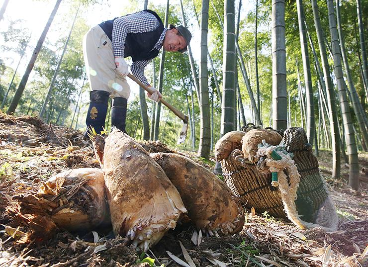 日差しが差し込む竹林で掘り出されたタケノコ=高岡市太田