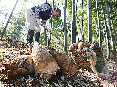 「春の味覚」掘る 高岡でタケノコ収穫