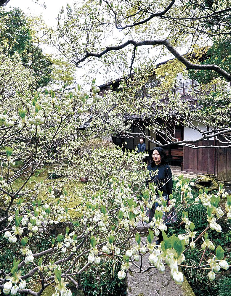 白い花が見頃を迎えたドウダンツツジ=金沢市大手町の武家屋敷寺島蔵人邸