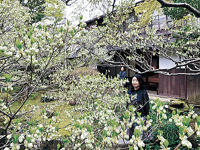 ドウダンツツジかれん 金沢・寺島蔵人邸、1週間ほど早く見頃