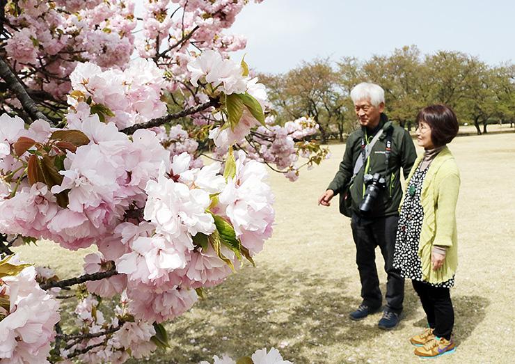 県中央植物園で満開のサトザクラ