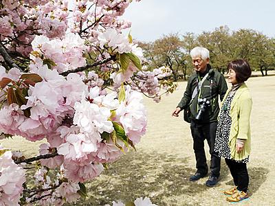花見まだいけます 県中央植物園、サトザクラ見頃