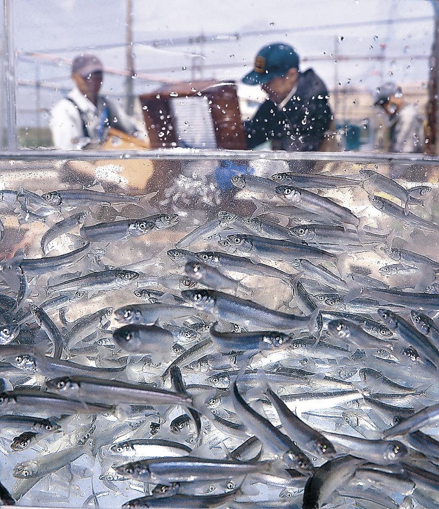 出荷に向けすくすくと成長したアユの稚魚=白山市の石川県水産総合センター生産部美川事業所
