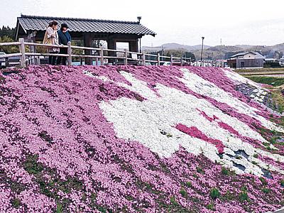 一面「春の色」 小松・中海、シバザクラ見頃