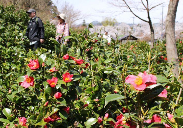 ツアー参加者を歓迎するように咲く雪椿=17日、阿賀町