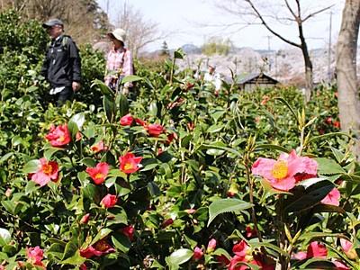 春の光浴びて雪椿りりしく 阿賀で名所ツアー