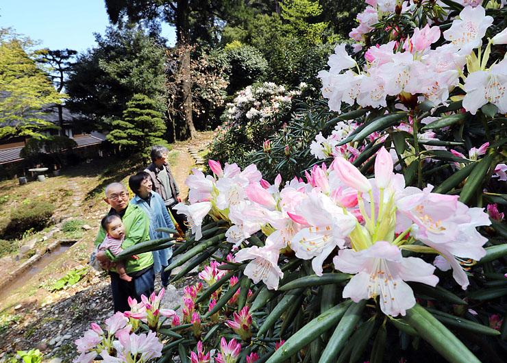 寺の庭園にあでやかに咲くシャクナゲ=護国寺