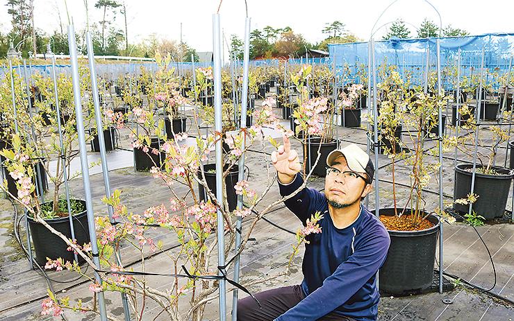 約1000本のブルーベリーを栽培する園内で開花状況を確認する落合代表