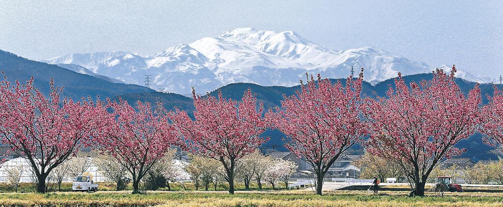白山を背に鮮やかに咲き乱れる八重桜=白山市中ノ郷町