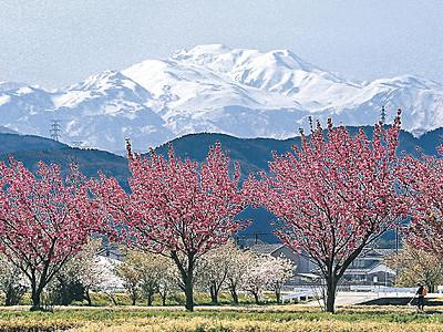 雪を背に、満開八重桜 白山市中ノ郷町