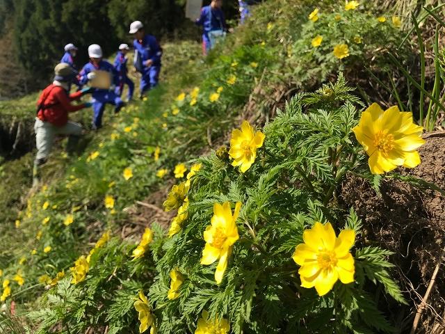 黄色い花を咲かせるミチノクフクジュソウ=4月19日、福井県勝山市北谷町