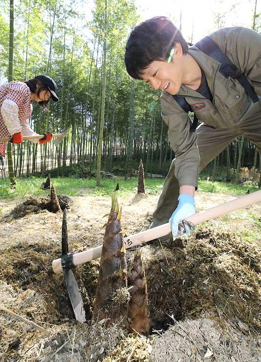 土中から顔を出したタケノコを掘り出す人たち