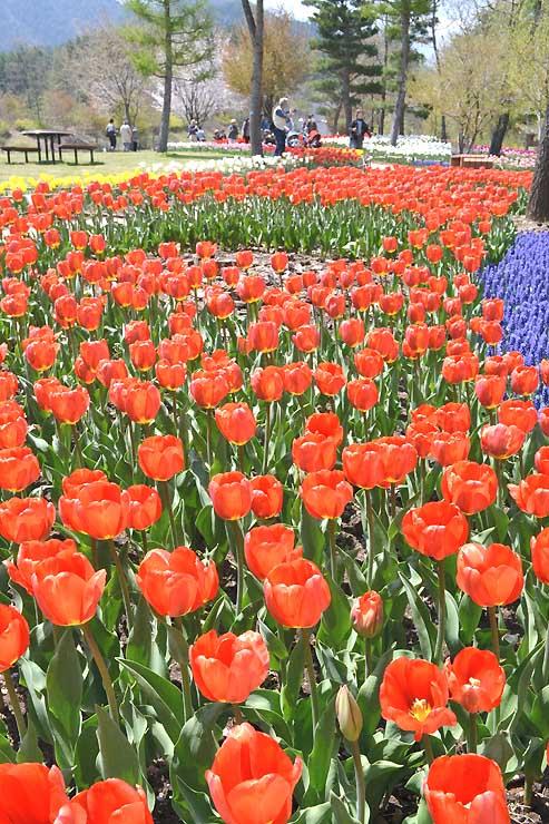 園内を彩るチューリップ