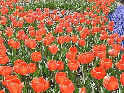 安曇野に春色のじゅうたん チューリップ24万本