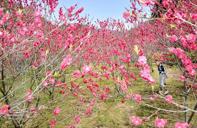 里山を彩る真っ赤なハナモモ=福井県福井市武周町