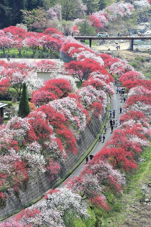 一斉に咲き、見頃を迎えた月川温泉郷一帯のハナモモ=23日、阿智村智里西地区