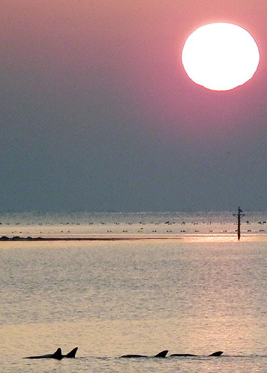 氷見市阿尾沖で泳ぐミナミバンドウイルカの群れ=21日午前5時10分ごろ