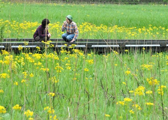 中池見湿地で近く見頃を迎えるサワオグルマ=4月25日、福井県敦賀市樫曲