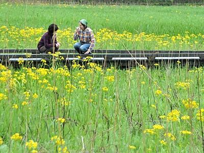 緑の湿地、黄色く薄化粧 敦賀でサワオグルマ近く見頃
