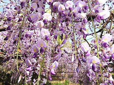 「阿島の大藤」花開く香り 喬木・安養寺