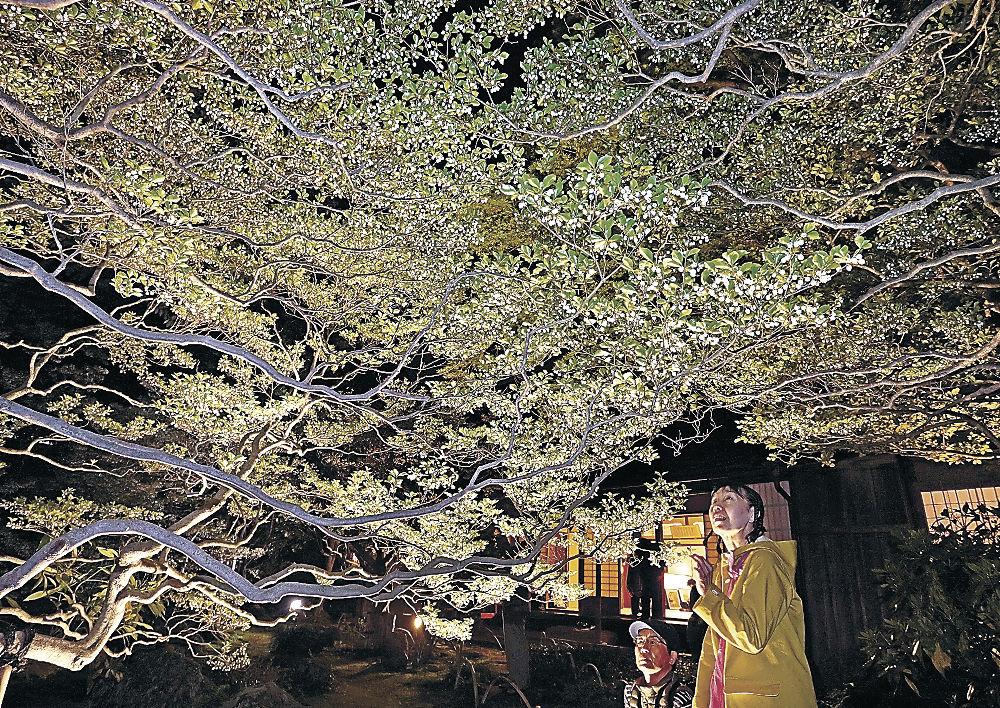 ライトアップされたドウダンツツジに見入る来場者=金沢市大手町の寺島蔵人邸