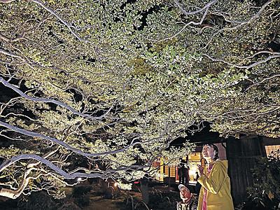 寺島蔵人邸のドウダンツツジ幻想的に 金沢ナイトミュージアム開幕