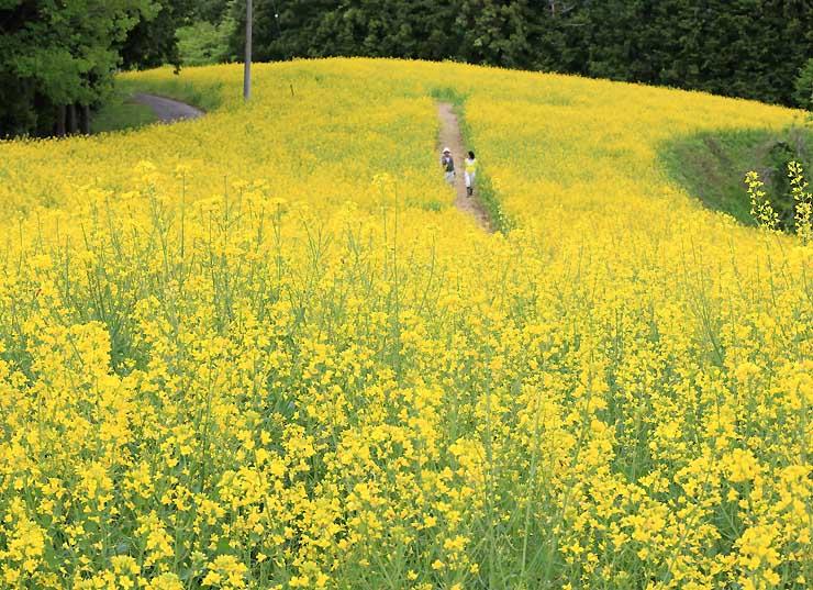 一面が黄色に染まった平石農場の菜の花畑=27日