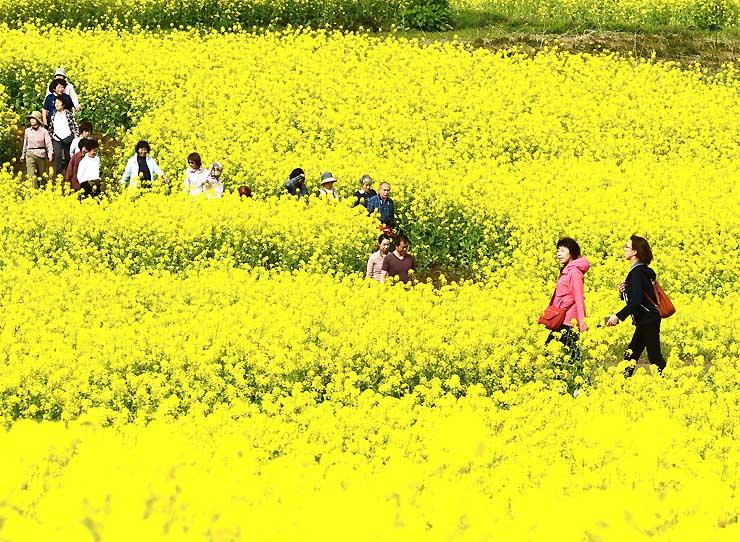 一面に黄色い花が咲いた菜の花畑を散策する観光客=27日、飯山市の菜の花公園