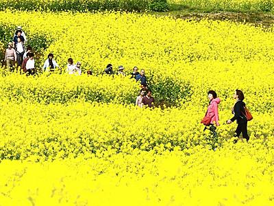 いいね!菜の花、飯山で見頃 5月3日からまつり