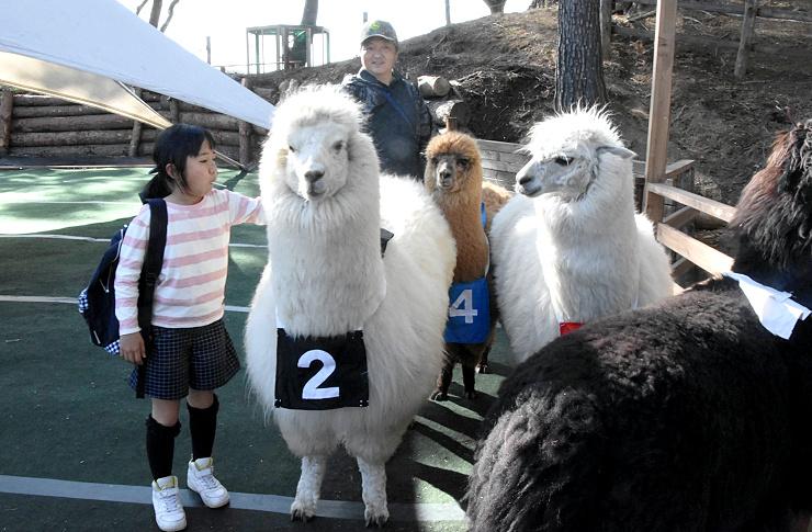 レース前のアルパカを励ます子ども=28日、富士見町の八ケ岳アルパカ牧場