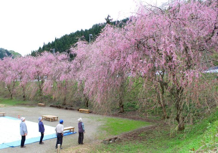 しだれ桜が見ごろを迎えた村上市の中継集落=27日